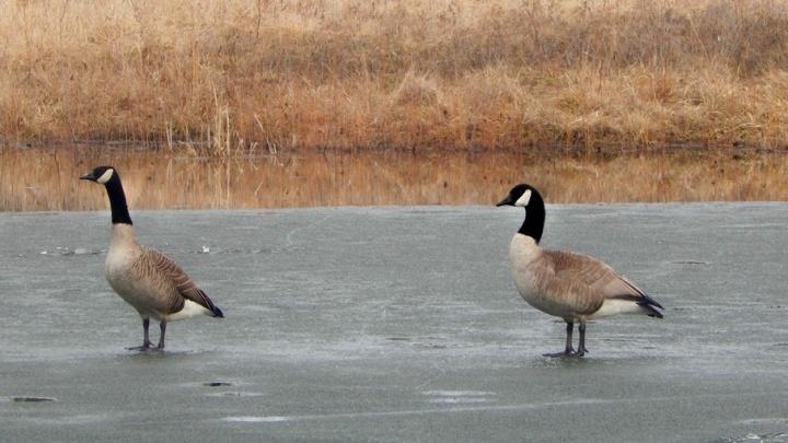 Канадские казарки прилетели в Кенозерье