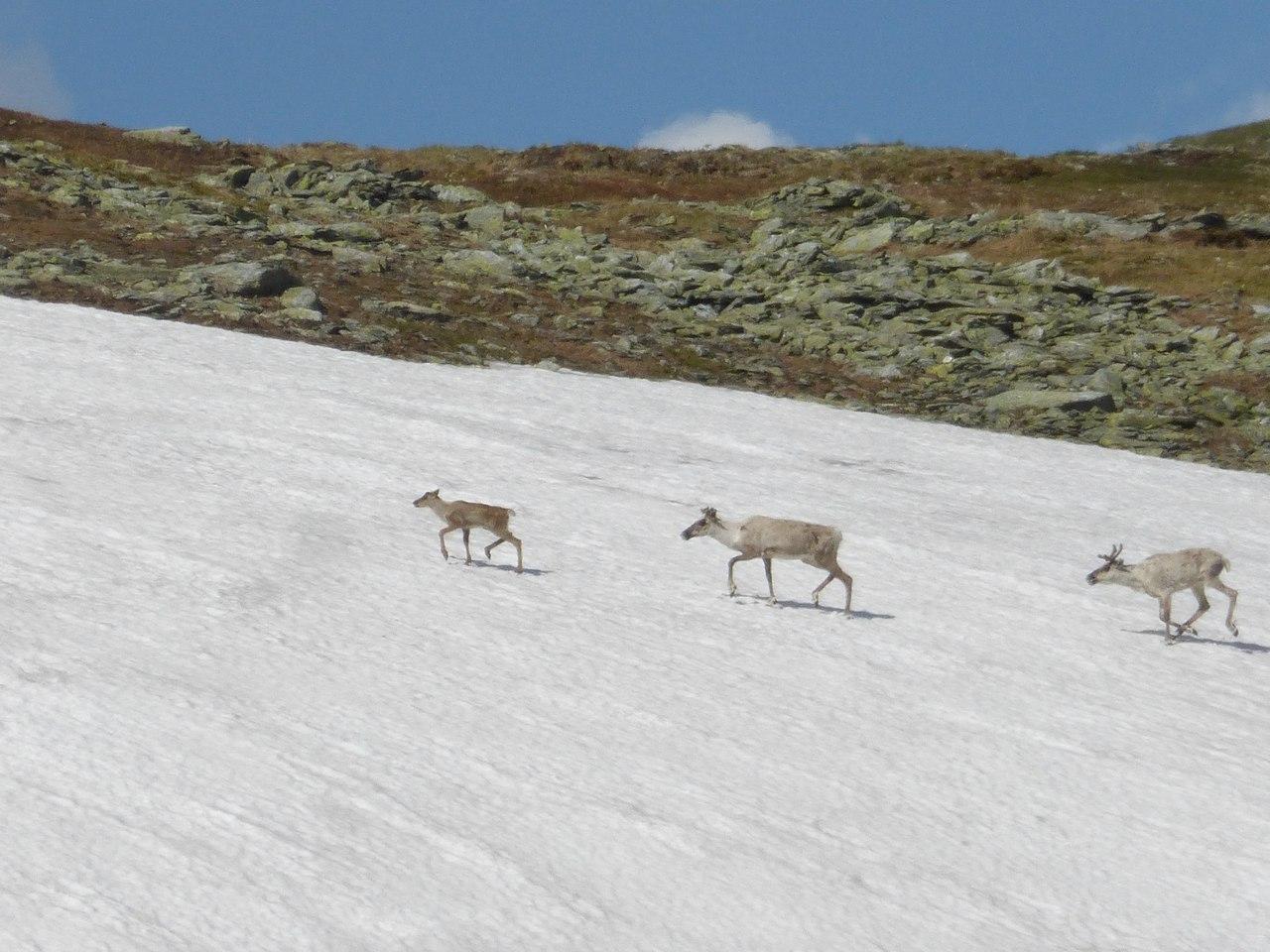 Навстречу путникам вышли олени
