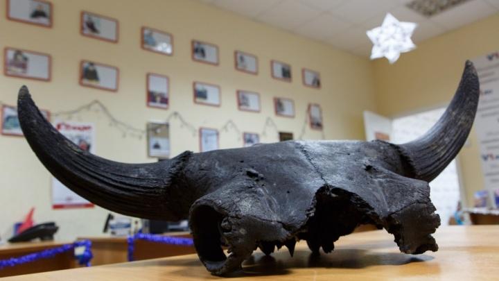 В Волге выловили доисторического бизона