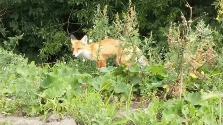 «Покормил колбасой, позвонил в зоопарк»: челябинец у ТРК наткнулся на раненого лисёнка