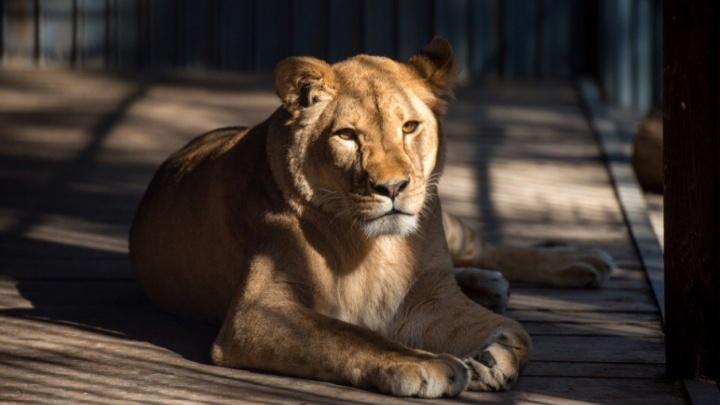 Боролись за жизнь два дня: в зоопарке Ростова от хронической болезни скончалась львица