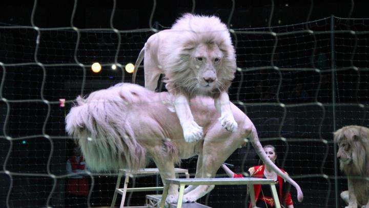 В июне потомственная дрессировщица привезет в Пермь белых львов