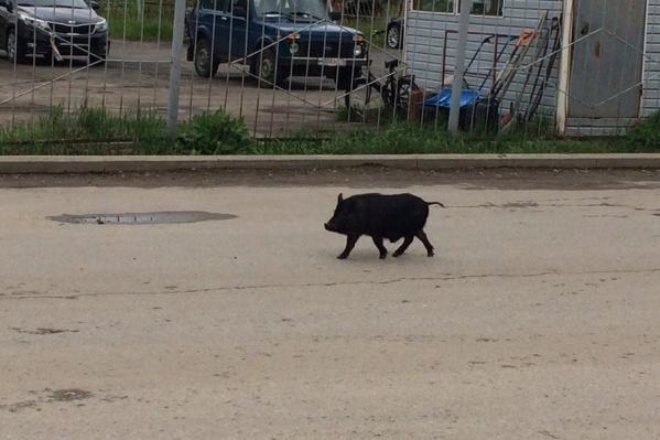Дикий свин не боялся людей