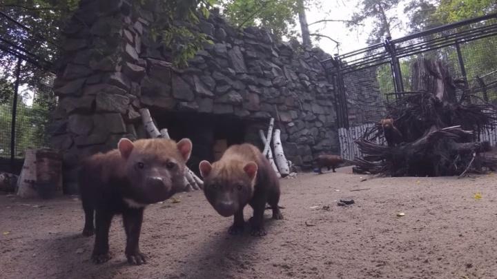 Лижут, царапают, пытаются украсть: тюменец заснял реакцию обитателей новосибирского зоопарка на экшн-камеру