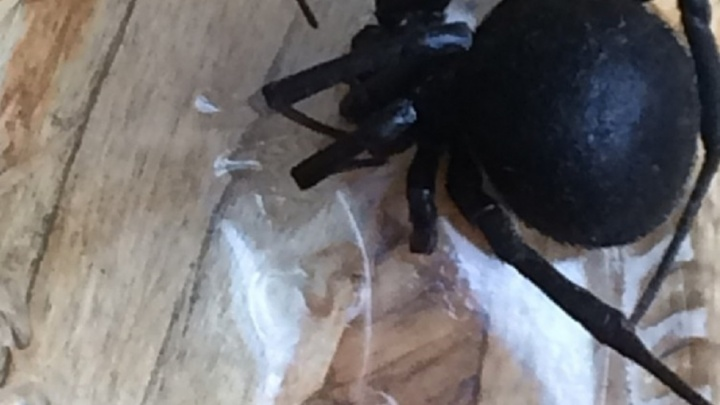 Ростовчане нашли опасного паука каракурта в частном секторе на Портовой