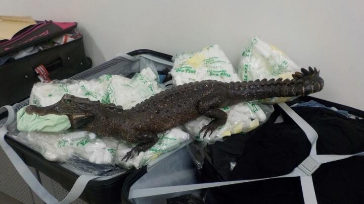 Чучело крокодила из Конго приютят самарские экологи