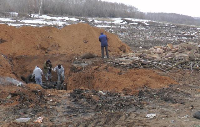 В Хворостянском районе области из-за чумы свиней продлили карантин