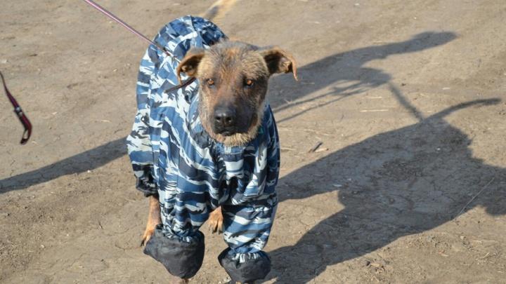 Облысевшей из-за стресса волгоградской собаке не разрешили жить в Швейцарии