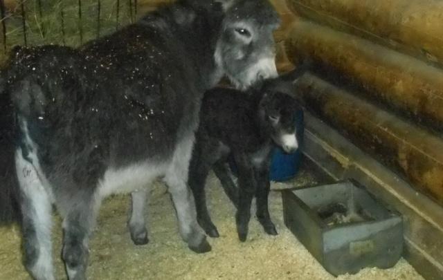 В ярославском зоопарке родился ослик: фото