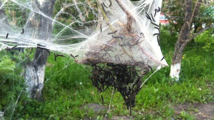 Архангельские «зеленые» встали на защиту загубленной молью черемухи