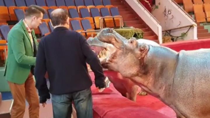 Бегемот в цирке зажевал у ярославских телевизионщиков камеру