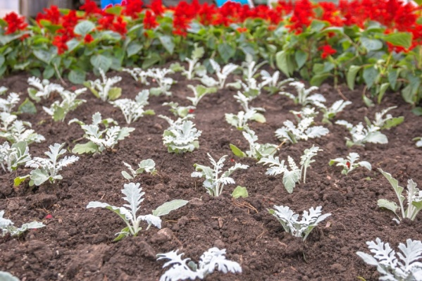 При высадке клумб будут использовать несколько видов цветов