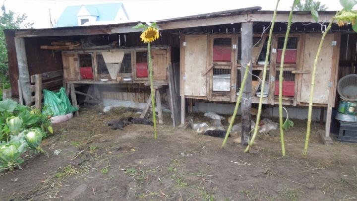 Сидят с ружьями во дворах и ставят капканы: в Винзилях неизвестный зверь массово убивает кроликов и кур