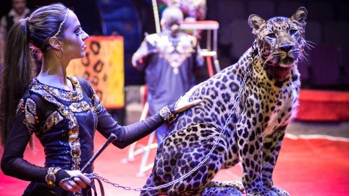 В Ярославль привезут очаровательных леопардов и медведей-эквилибристов