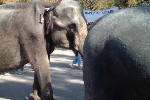 В воскресение в зоопарке покажут, как кормят слонов