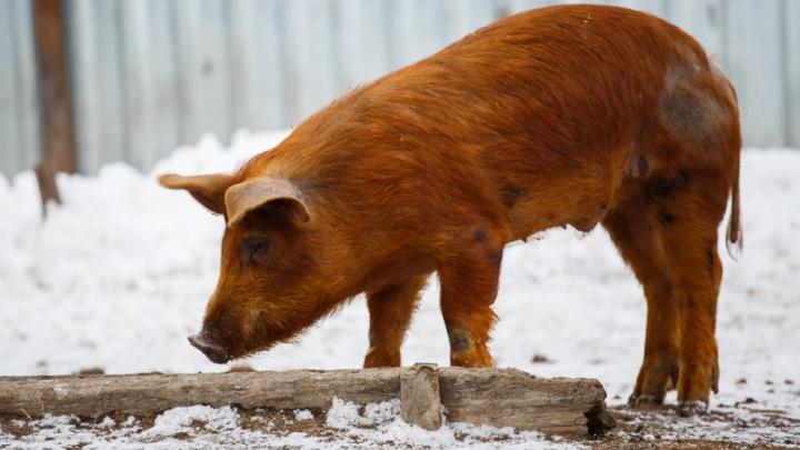 В Волгоградской области вновь разбушевалась африканская чума свиней