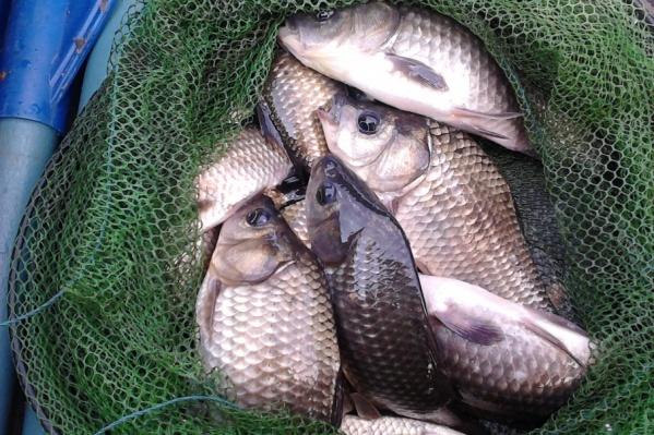 В сети рыбаков попали самые разные рыбы, среди которых нельма, судак, белоглазка, корюшка, язь, окунь, плотва и камбала