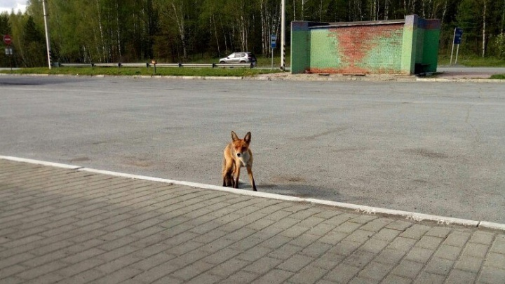 Посетители придорожного кафе под Челябинском прикормили лису
