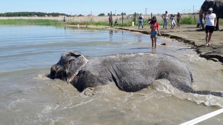 Купание слонов на «путинском» пляже сняли на видео с высоты птичьего полёта