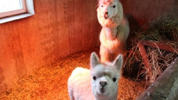 Крошка-альпака приедет в Пермь. Она станет второй невестой Эдмундо