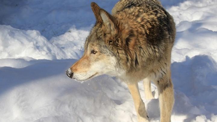 Волки в «Самарской Луке»: на территории заповедника увеличилась популяция серых хищников