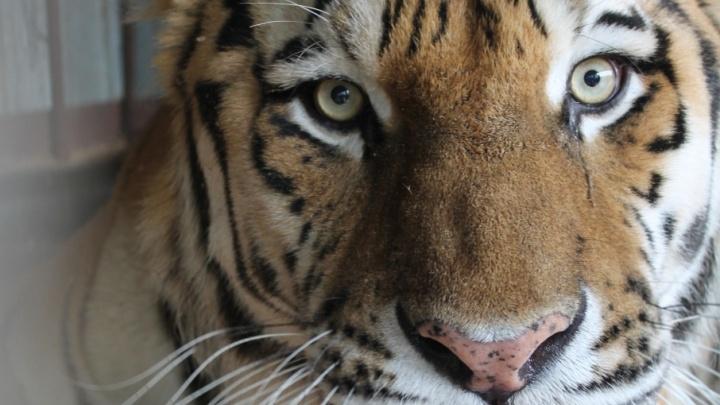 Самарский тигр Кактус встретится с возлюбленной Кассандрой этой осенью