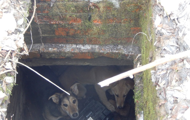В Перми спасли двух собак, провалившихся в овощную яму