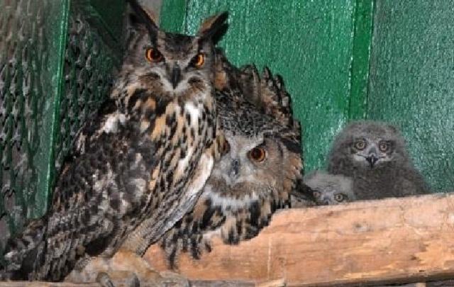 Пернатое пополнение: три филина и орленок родились в Ростовском зоопарке