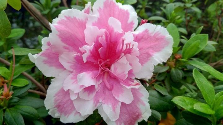 Азалии, жасмины и камелии: в ботаническом саду ПГНИУ зацвели субтропические растения