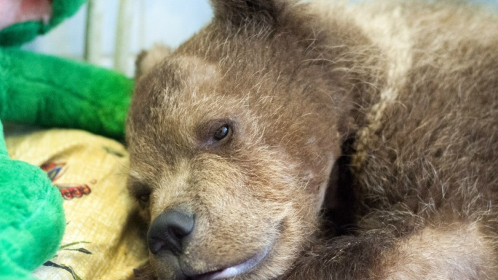 Под Петербургом открылся памятник медвежонку, спасенному от жестокой смерти в Архангельской области