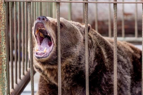Кафе «Генацвале» во многом популярно благодаря живущим там медведям