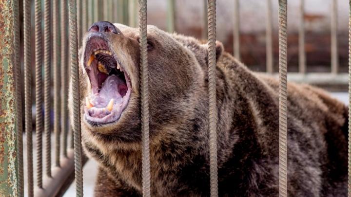 В Ярославской области из придорожного кафе сбежали медведи