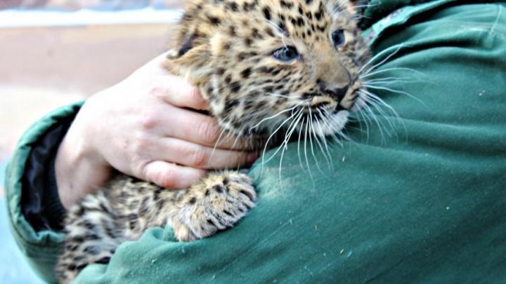 «Мальчишки с характером»: горожан познакомили с детёнышами леопардов