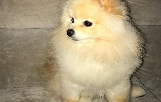 «Собачка на миллион»: ростовчанка предлагает вознаграждение iPhone 7 за потерянного шпица