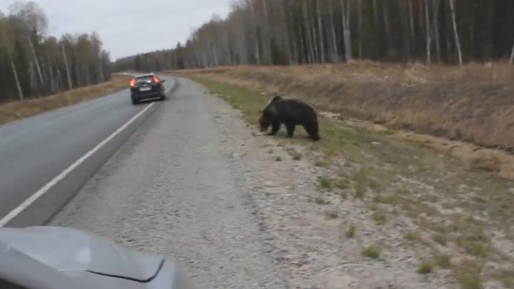 На тюменской трассе заметили медведя: зачем звери выходят из леса и могут ли они напасть на человека