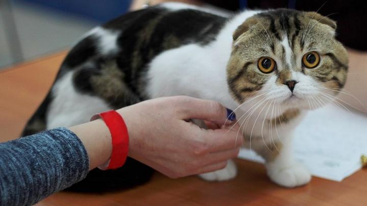 «Это какой-то абсурд». Житель Хабаровска судится с пермским клубом заводчиков из-за вислоухой кошки