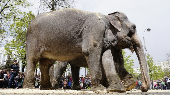 У тюменского цирка искупали в опилках двух слонов-великанов