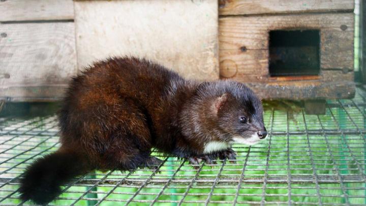 Ученые ПГНИУ: в Прикамье под угрозой исчезновения европейская норка и русская выхухоль