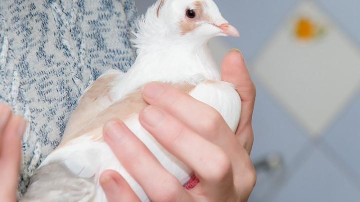 Попали в очаг: у жителя Челябинской области убили 20 голубей из-за соседских попугаев