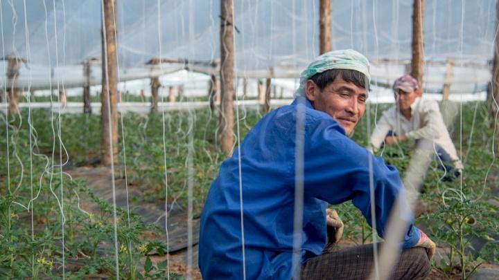 В китайских помидорах из Иловлинского района нашли смертельно опасные пестициды