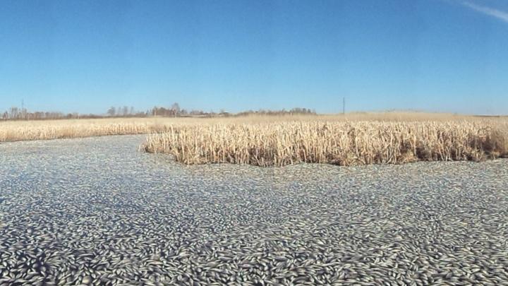 Специалисты минсельхоза выяснили причины массового мора рыбы в озере Кунашак