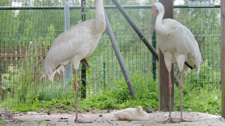 В Ярославле у пары журавлей родился гусенок