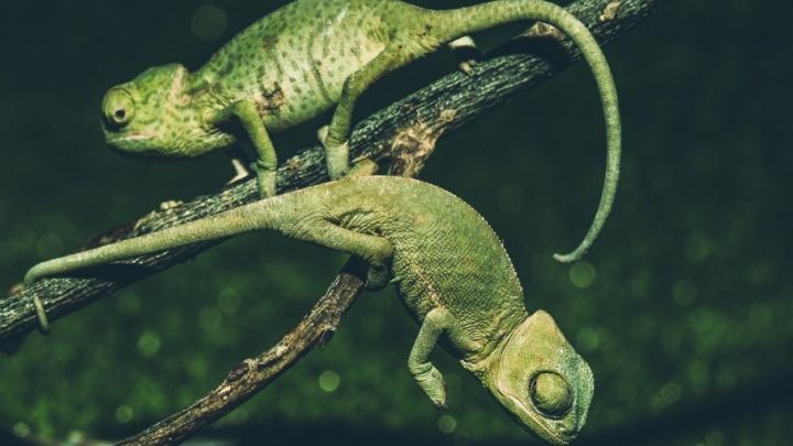 Восемь хамелеонов появились на свет в Ростовском зоопарке