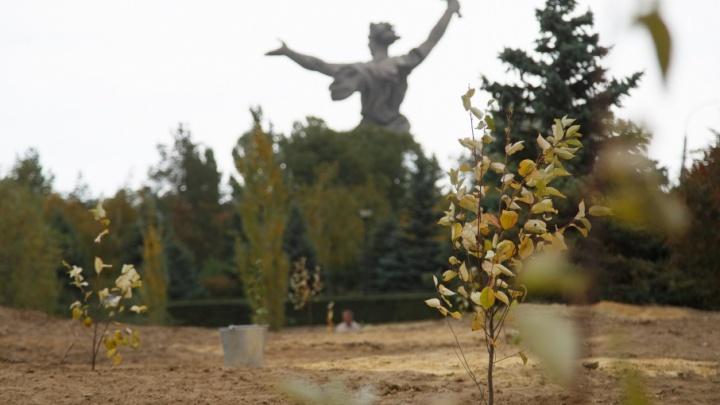 На Мамаевом кургане высадили аллею из 900 деревьев и кустарников