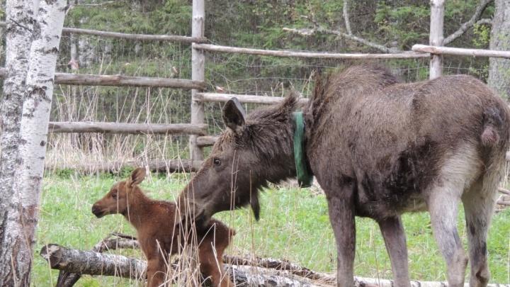 «Думали, нет в живых»: пропавшая с Зюраткуля лосиха вернулась домой и стала мамой