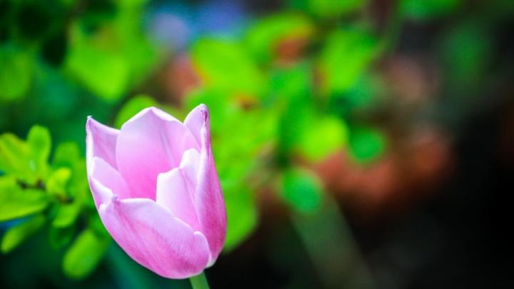 Тюльпаны и цветущая сирень: любуемся прекрасным Волгоградом