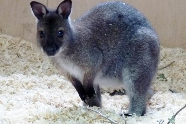 Работники зоопарка предложили десяток имён для кенгурёнка