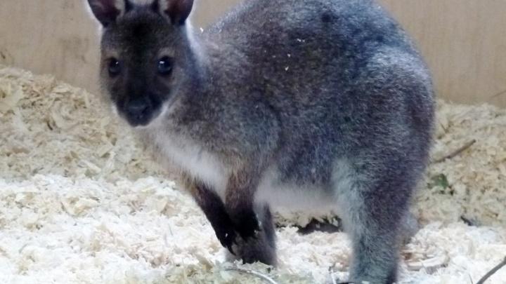 Тормоз или Шумахер: челябинцы выбирают имя родившемуся в зоопарке кенгурёнку