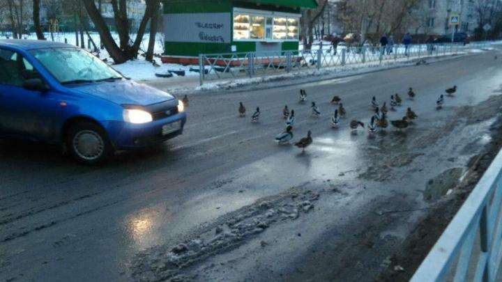В Рыбинске утки остались зимовать на тротуаре