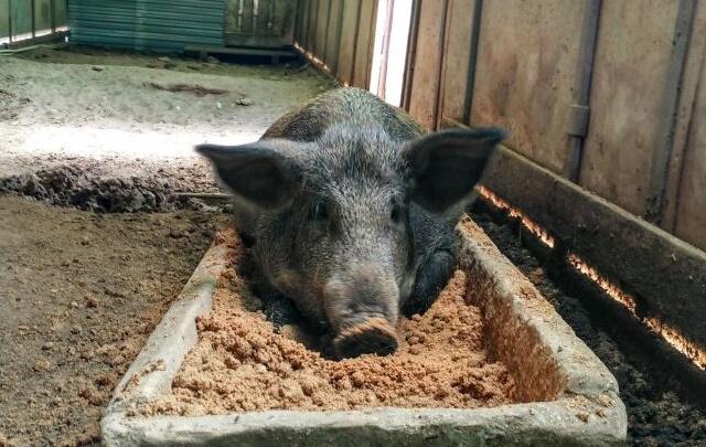 «Пермский свинокомплекс» избежал банкротства, погасив долги перед налоговиками